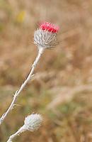 Cobweb thistle, Cirsium occidentale, Point Reyes National Seashore, California