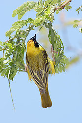 July 6, 2015 - African Masked Weaver, male, building nest, Madikwe National Park, South Africa  (Credit Image: © Tuns/DPA/ZUMA Wire)