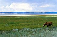Steppe horse, Bakanas, southern steppes of Kazakhstan