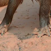 Capybara (Hydrochaeris hydrochaeris) Largest rodent in the world. Close up of feet. Pantanal. Brazil.