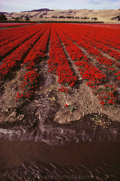 Flowers grown for seeds being irrigated. Gilroy, California.