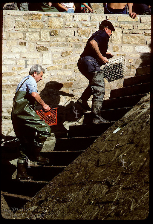 Men carrying basket of clams up steps to be weighed by gov't inspectors at Le Bono;Auray Rivr France