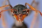 [Digital focus stacking] Ant Portrait.Subfamily: Myrmeciinae .Family: Formicidae .Order: Hymenoptera .Common name: Giant Bull Ant .Myrmecia tarsata