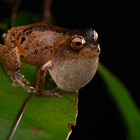 Golden-legged Bush Frog (Philautus aurantium), male. Sabah, Malaysia (Borneo).
