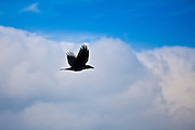 Raven in flight through blue sky with puffy clouds, County Clare, West of Ireland