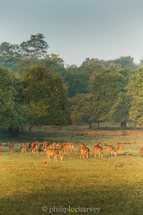 Spotted deer, Tadoba National Park, India