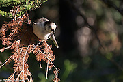 A gray jay hangs sideways and leans toward me to see whether I am friendly.