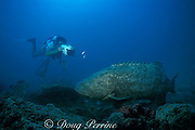 Dr. Pat Colin videotapes Goliath grouper or jewfish, <br /> Epinephelus itajara, at spawning site on wreck of <br /> shrimp boat in Gulf of Mexico off Florida