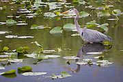 A Great Blue Heron (Ardea herodias) wades across a swamp covered in water lilies torn apart by alligator activity along the Anhinga Trail in Everglades National Park, Florida.