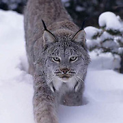 Canada Lynx, (Lynx canadensis) Adult. Montana.Winter.Captive Animal.