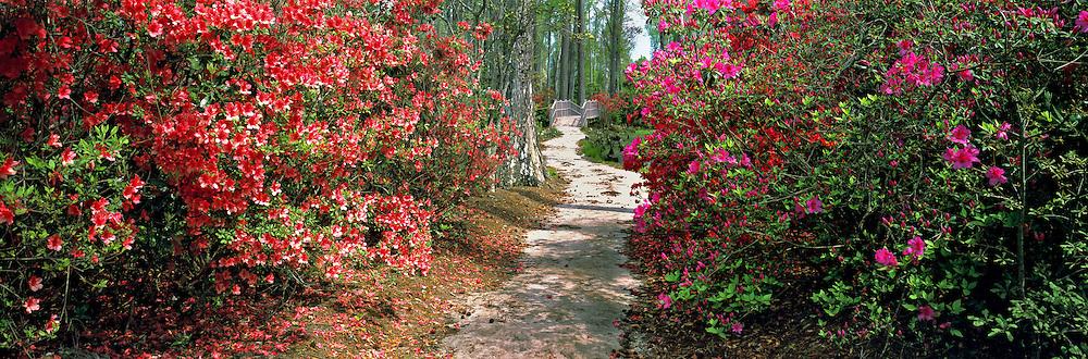 Azaleas line a pathway at Magnolia Plantation, South Carolina.