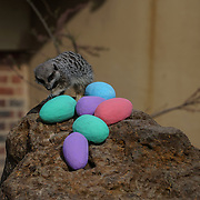 London,England,UK.13th April 2017. Zookeeper giving a Easter surprise for meerkats at ZSL London Zoo,UK. by See Li