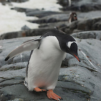 A Gentoo Penguin (Pygoscelis papua) walks across rocks on Petermann Island, Antarctica.