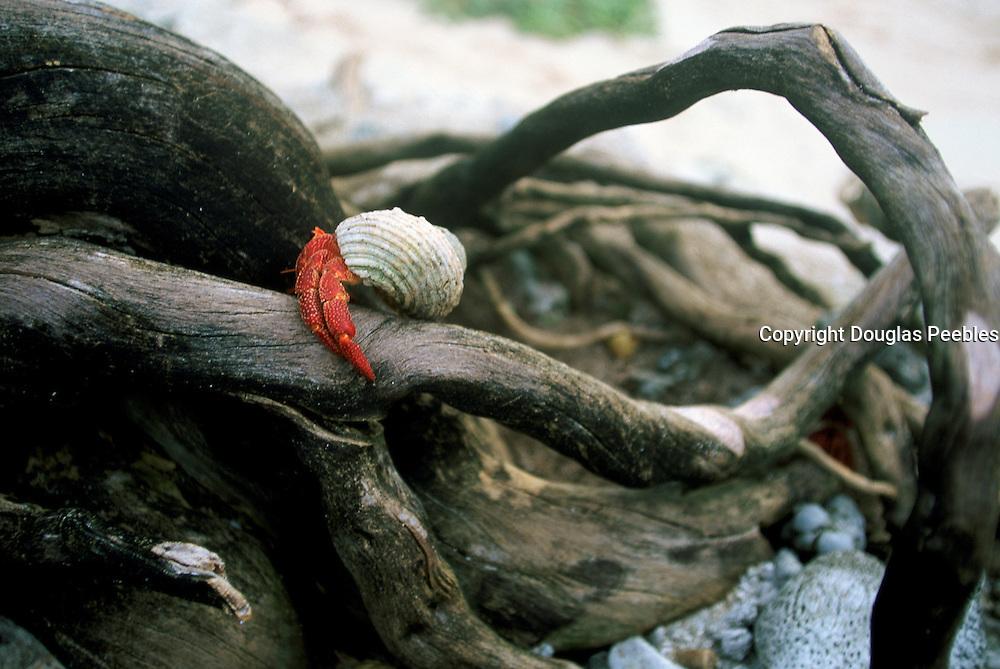 Crab, Gaferut Island, Yap, Caroline Islands, Federated States of Micronesia, Micronesia<br />