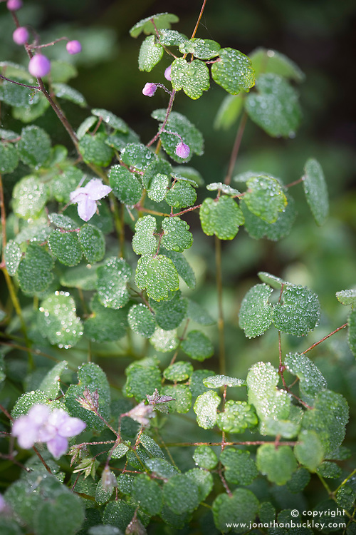 The foliage of Thalictrum delavayi - <br /> Chinese meadow rue