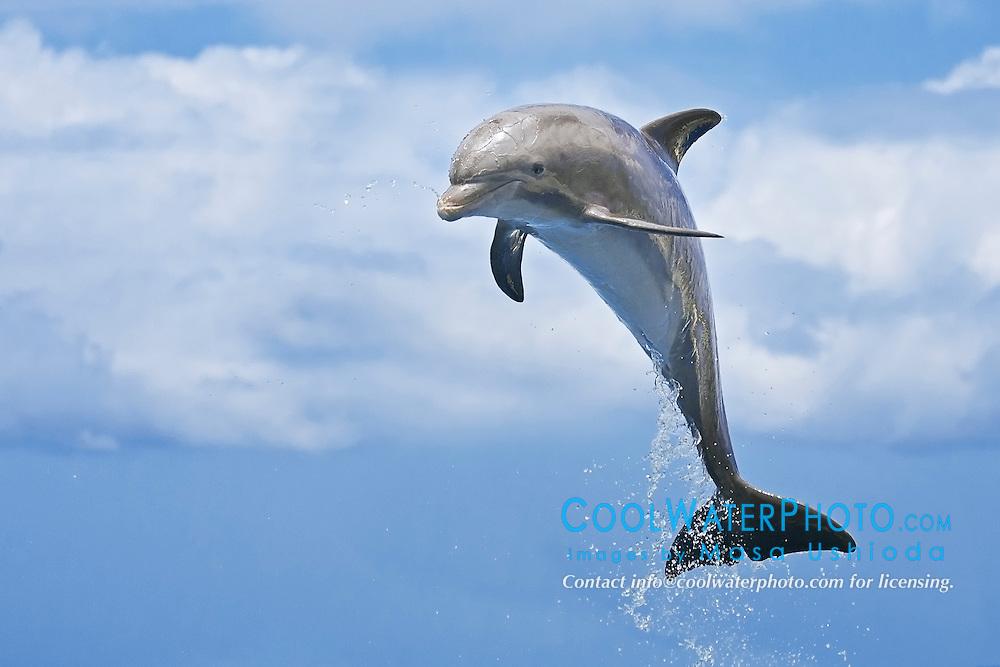 common bottlenose dolphin, Tursiops truncatus, calf leaping, Atlantic Ocean