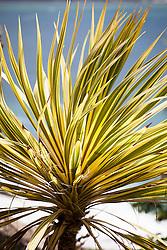 Cordyline australis 'Torbay Dazzler AGM. Cabbage Palm