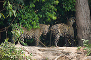 A male jaguar (Panthera onca) who crossed a river, meets up with a female to mate, Pantanal, Brasil,South America