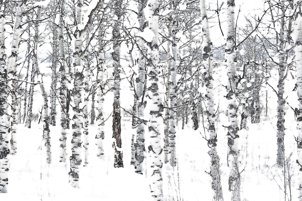 Black and white fine art photography by Tracie Spence 'Still' is of aspen trees during winter in Yellowstone National Park.