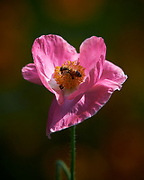 Bee on a Pink Poppy Flower. Image taken with a Nikon Df camera and 300 mm f/4 lens