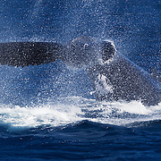 Humpback whale (Megaptera novaengliae) tail slap throwing off a lot of seawater spray