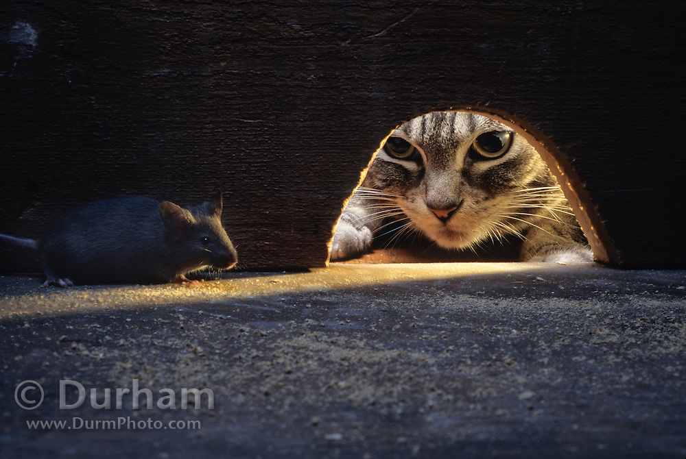 A house mouse (Mus musculus) hiding from a domestic cat. Captive.