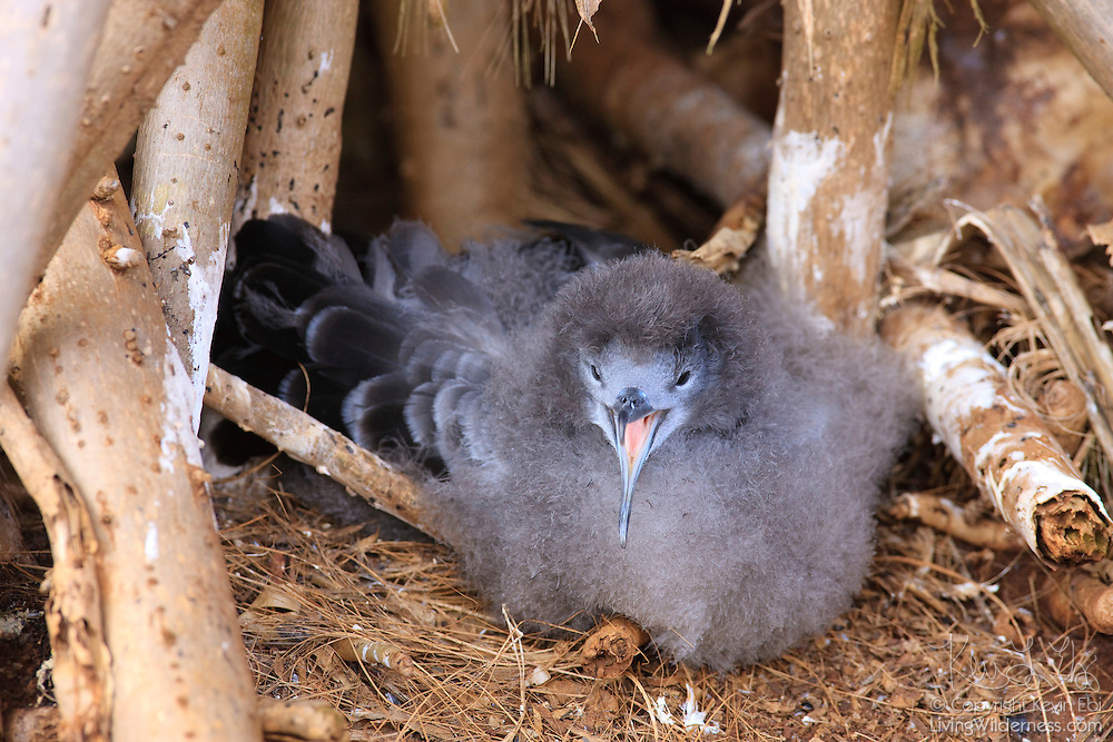 A juvenile wedge-tailed shearwater (Puffinus pacificus) looks out from its nest on a high cliff in the Kilauea Point National Wildlife Refuge on Kauai, Hawaii. The Hawaiian name for the bird is `Ua`u Kani. While the wedge-tailed shearwaters are relatively common on the coasts of the Hawaiian islands, the birds are threatened by modern life and recovery efforts are underway.