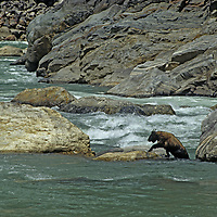 TIBET. Gnu-like takin (Budorcas taxicolor) after swimming in torrential rapid of Tibet's Yarlung Tsangpo River (Brahmaputra) in Tsangpo Gorge, one of earth's deepest canyons.