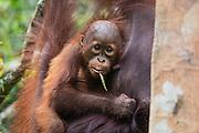 A close-up portrait of an orangutan infant (Pongo pymaeus) on its mother's chest, Tanjung Puting National Park, Central Kalimantan, Borneo, Indonesia