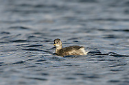 Little Grebe Tachybaptus ruficollis - Winter. L 25-29cm. Dumpy, buoyant waterbird with powderpuff of feathers at rear end. Dives frequently for fish and aquatic invertebrates. Wings are rounded and uniform grey-brown. Sexes are similar. Adult in summer is mainly brownish but neck and cheeks are chestnut. Pale-tipped dark bill has lime-green spot at base. In winter, has mainly brown upperparts and buffish underparts. Juvenile recalls winter adult but with pale throat and black stripes on face. Voice Utters a whinnying trill. Status Ffairly common resident of freshwater ponds and slow-flowing rivers; in winter, also seen on sheltered coasts and estuaries.