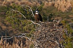 Eagles Nest, Idaho, Snake River, eaglet
