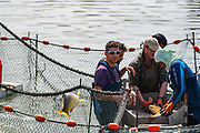 Carp are netted, weighed and examined and returned to the pool in this fishery fish pool on a kibbutz in Israel
