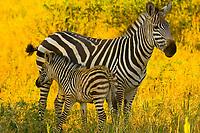 Herd of zebra, Tarangire National Park, Tanzania