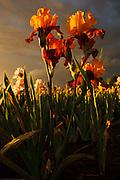 USA, Oregon, Keizer, Schreiner's Iris Gardens, Iris Production Field in storm at sunset