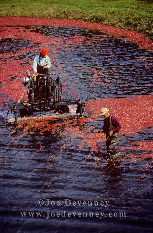 Two men working the cranberry harvest in Plymouth, Massacusetts