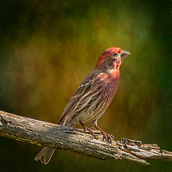 A Male House Finch Standing Tall and Proud on a Bare tree Limb