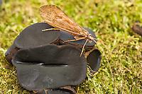 Caddis fly, Trichoptera Order, on a fungus, Crna Rjieka, Black River, Plitvice National Park, Croatia