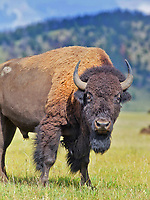 A bison feeds in a field at Grand Teton National Park in Wyoming in the summer of 2012.