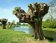 Ancient willow trees recently pollarded, River Stour, Dedham Vale, Essex Suffolk border, England
