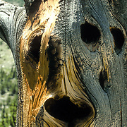 The face in a tree. Somewhere in the Colorado Rockies
