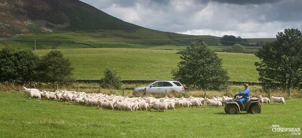 Farmer uses quad bike to move flock of sheep to fresh grazing