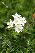 Alpine wildflowers, Mountain Avens, Dryas octopetala in bloom below the Swiss Alps, Switzerland