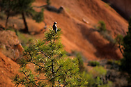 Bird in tree top, Sunset Point, Bryce Canyon National Park, UTAH