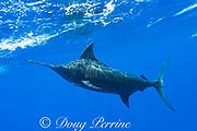 free swimming blue marlin, Makaira nigricans, Vava'u, Kingdom of Tonga, South Pacific