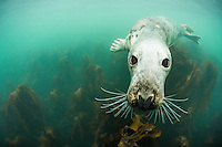 A playful common seal (Phoca vitulina) admiring its reflection in the  photographer's dome port. The image was taken at the Farne Islands, Northumberland, UK during October 2012.