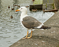 Lesser Black-backed Gull (Larus fuscus) at the Tjornin Pond. Midday Reykjavik walkabout. Image taken with a Nikon N1V1 camera and 32 mm lens.