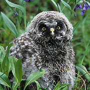 Great Gray Owl fledgling on the ground near a nest. Montana