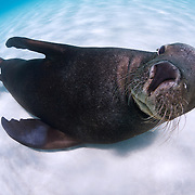 Inquisitive young sea lion lying in white sand looking straight at the camera