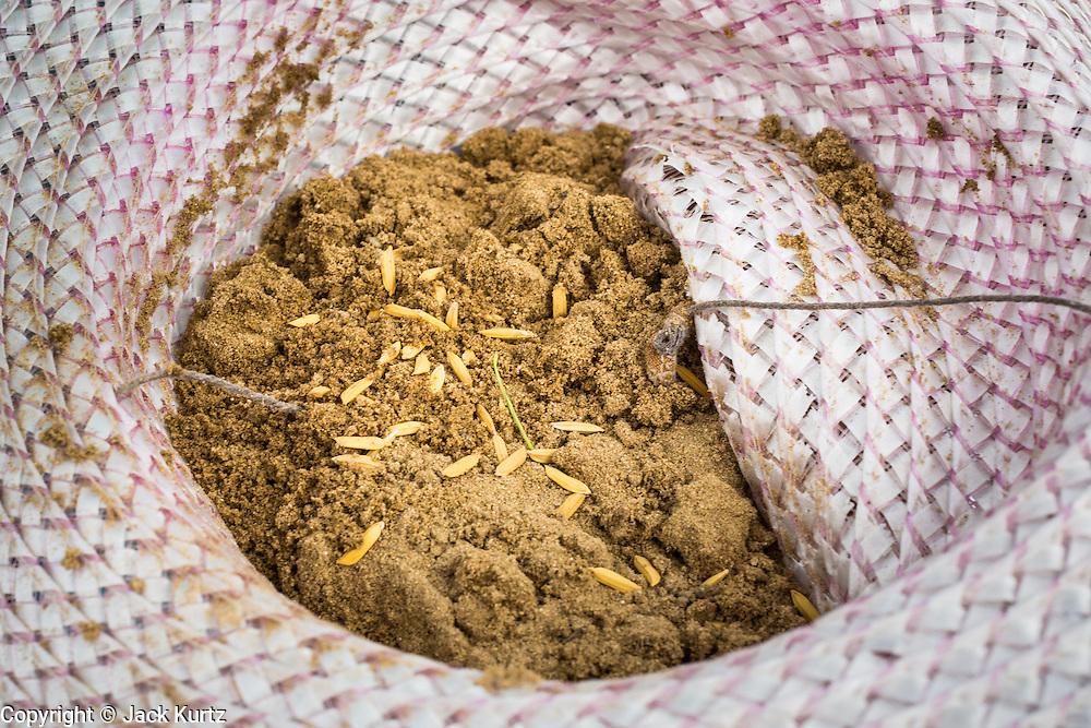 13 MAY 2013 - BANGKOK, THAILAND:  Collected rice seeds and dirt in a farmer's hat after the Royal Ploughing Ceremony. The Royal Plowing Ceremony is held Thailand to mark the traditional beginning of the rice-growing season. The date is usually in May, but is determined by court astrologers and varies year to year. During the ceremony, two sacred oxen are hitched to a wooden plough and plough a small field on Sanam Luang (across from the Grand Palace), while rice seed is sown by court Brahmins. After the ploughing, the oxen are offered plates of food, including rice, corn, green beans, sesame, fresh-cut grass, water and rice whisky. Depending on what the oxen eat, court astrologers and Brahmins make a prediction on whether the coming growing season will be bountiful or not. The ceremony is rooted in Brahman belief, and is held to ensure a good harvest. A similar ceremony is held in Cambodia.   PHOTO BY JACK KURTZ
