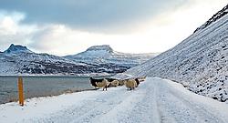 THEMENBILD - Islandschafe, Ovis aries Bildudalsvegur Vesturbyggoe, aufgenommen am 24. Oktober 2019 in Island // Iceland sheep, Ovis aries Bildudalsvegur Vesturbyggoe, Iceland on 2019/10/24. EXPA Pictures © 2019, PhotoCredit: EXPA/ Peter Rinderer